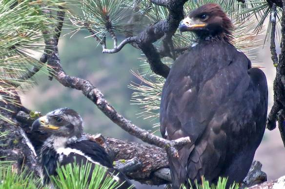 Golden Eagle Chick
